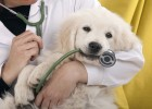 12599986 - golden retriever puppy playing with a stethoscope vet